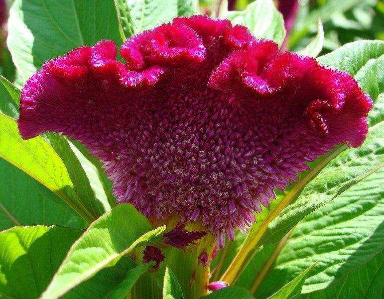 Выращивание многолетних цветов целозия в открытом грунте