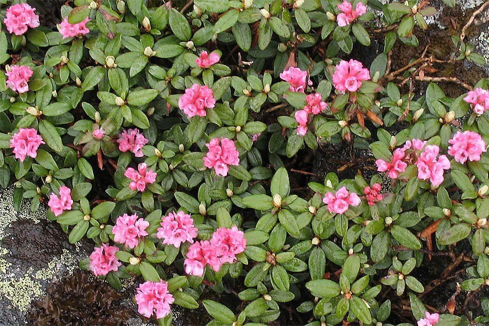 Рододендрон адамса - rhododendron adamsii - описание таксона - плантариум