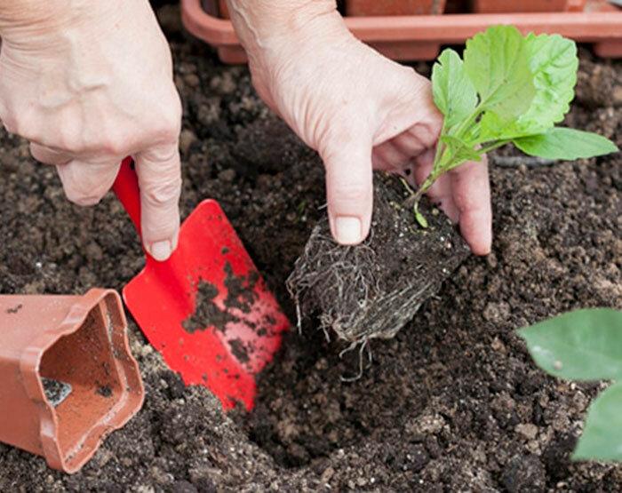 Кампанула садовая: посадка и выращивание многолетней культуры на приусадебном участке