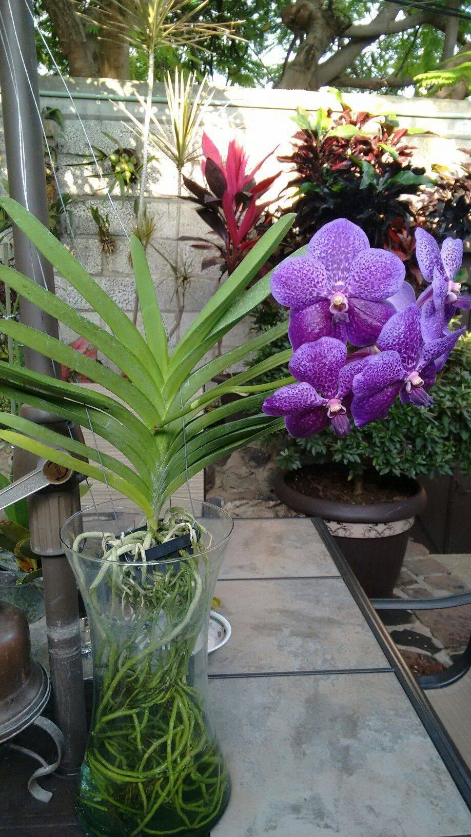 Орхидея ванда – инструкции по уходу в домашних условиях. 90 фото + видео советы по выращиванию