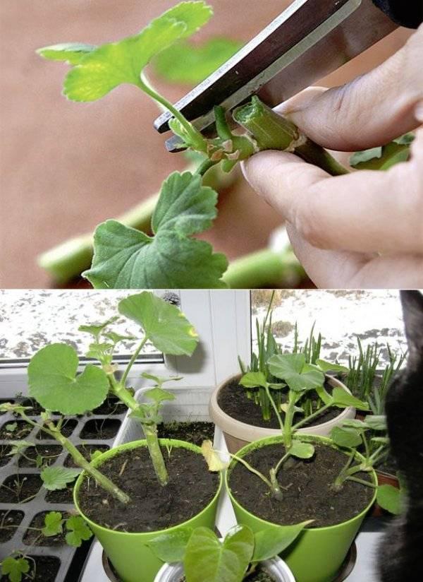 Формирование красивого куста герани: осенняя обрезка и своевременное прищипывание