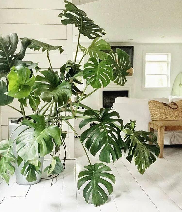 Монстера деликатесная: описание растения, уход и выращивание в домашних условиях