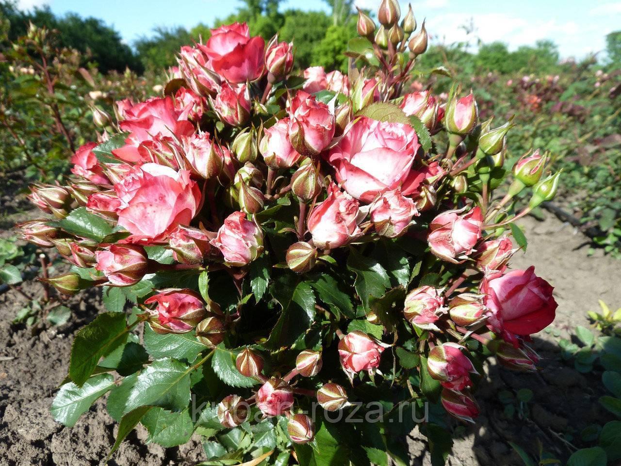 Роза файер флеш
