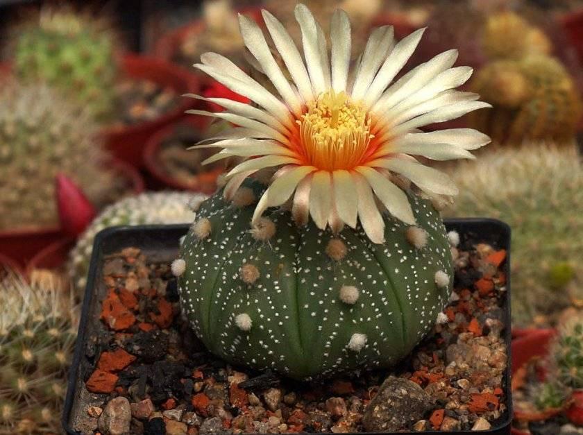 Как ухаживать за кактусами в домашних условиях: полив, размножение и пересадка, разновидности