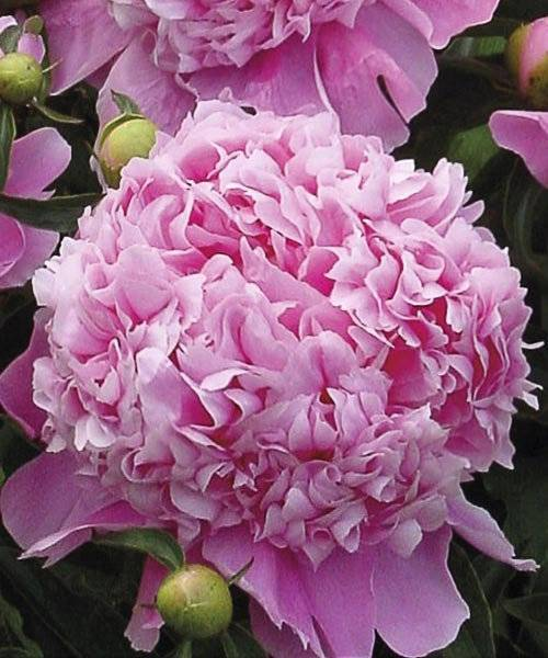 Пион канари бриллиант (paeonia canary brilliants)