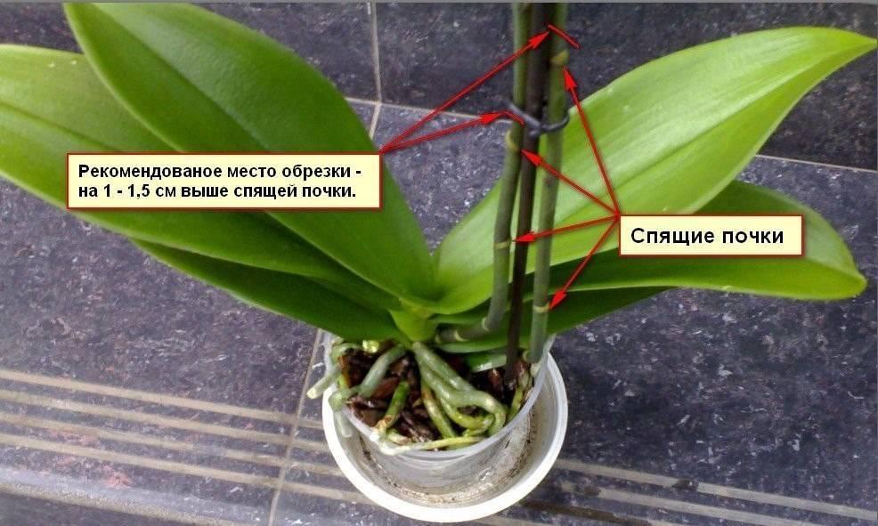 Как заставить орхидею выпустить цветонос: почему эпифит не даёт стрелки, что сделать, если побег замер, и могут ли несколько стеблей расти вверх в домашних условиях?