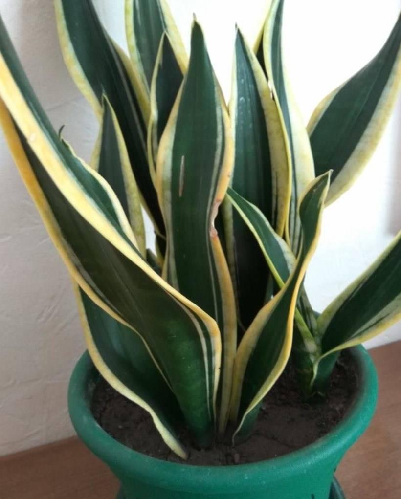 Сансевиерия лауренти: фото цветка, советы по уходу в домашних условиях, а также ботаническое описание