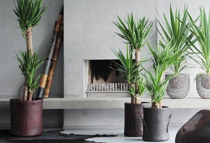 Веерная пальма: экзотическая красота в доме