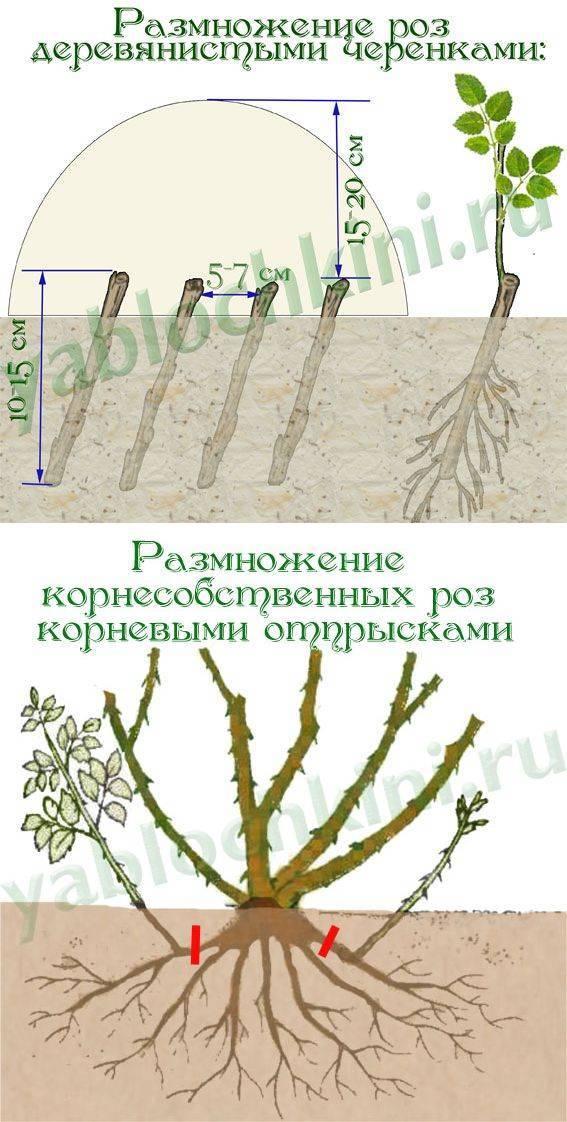 Особенности выращивания и ухода за розами