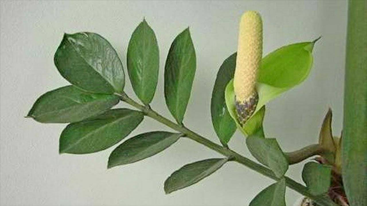 У замиокулькаса желтеют листья: причины и правила лечения