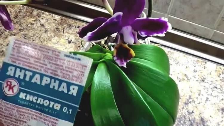 Янтарная кислота для орхидей: особенности, правила приготовления и использования