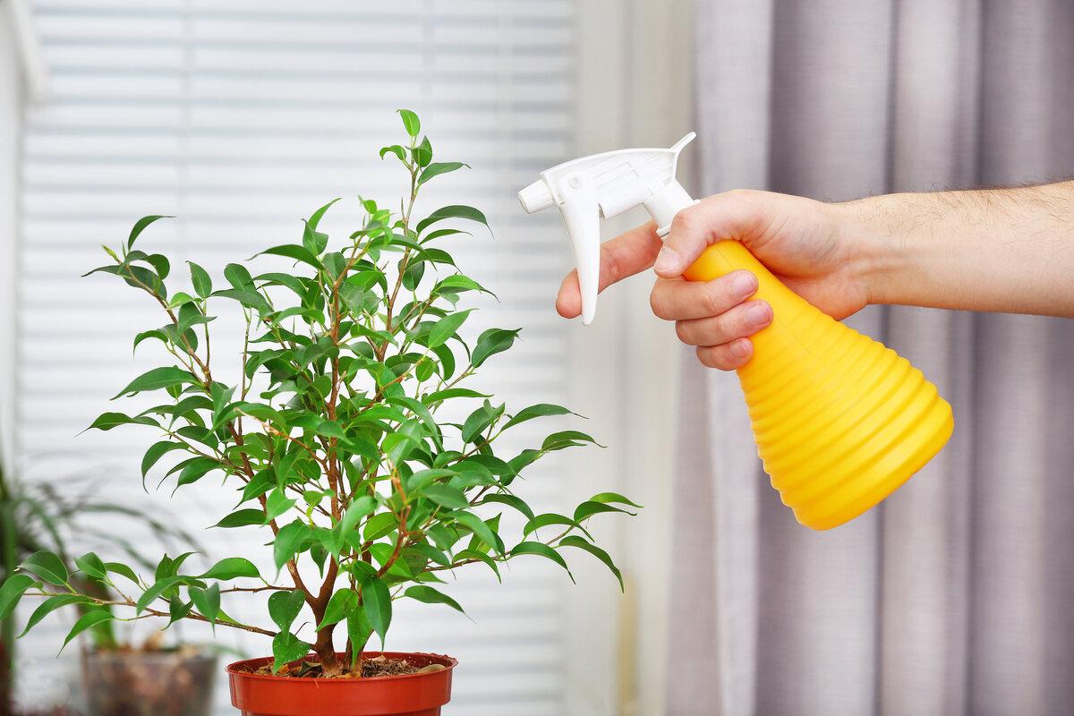 Каллистемон лимонный: особенности ухода в домашних условиях