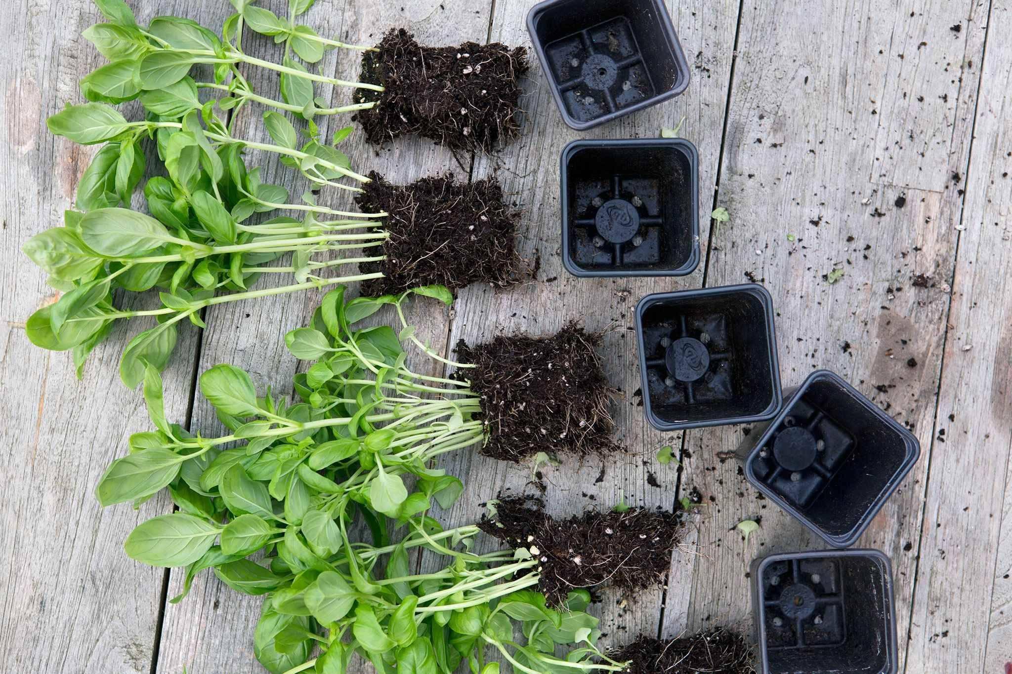 Правила и особенности выращивания базилика на рассаду