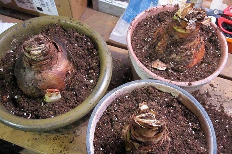 Гиппеаструм — уход в домашних условиях и почему не цветет ?