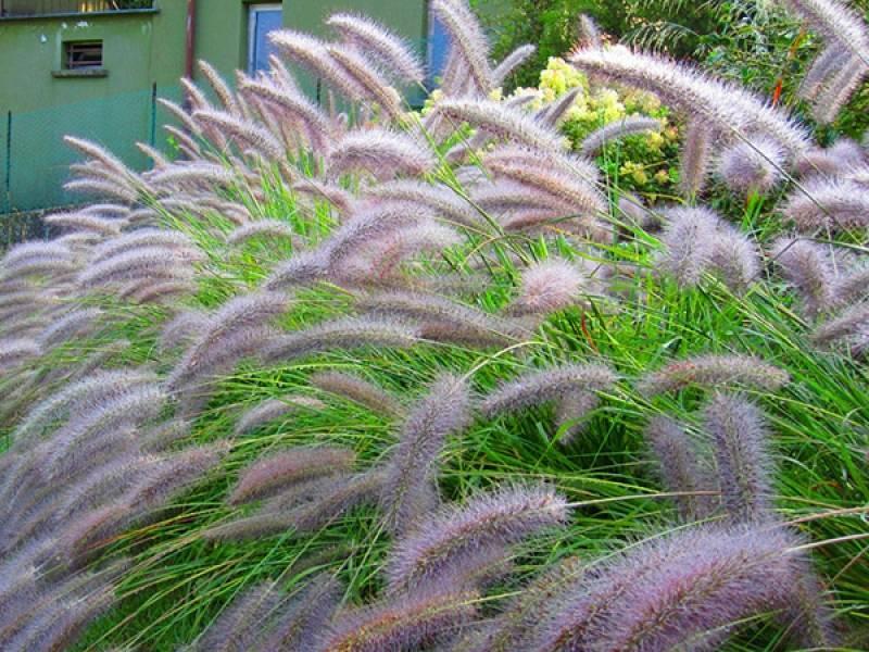 Особенности посадки и выращивания пеннисетума в открытом грунте