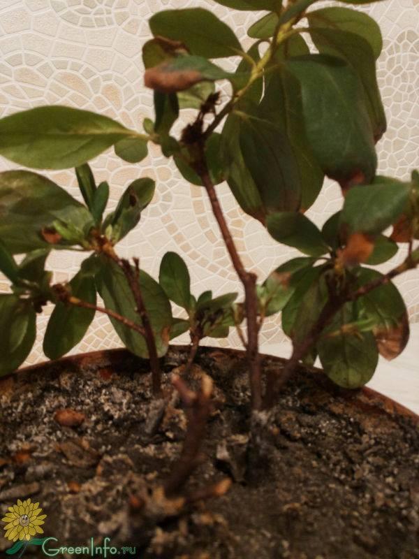 Вянет азалия: почему растение в горшке сбрасывает листья и цветы, что делать, чтобы его спасти, как не допустить повторения?