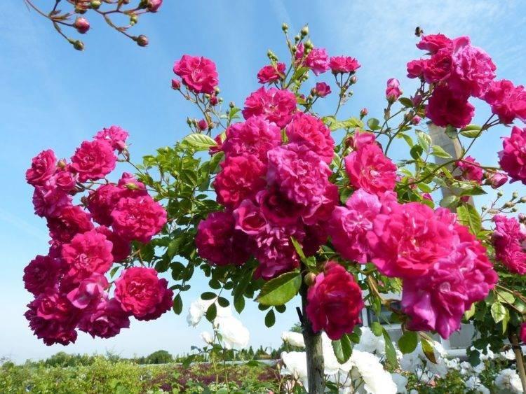 Розы почвопокровные (сорта, фото и их описание)