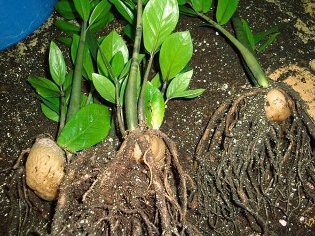 Размножение замиокулькаса: полезные советы для начинающих цветоводов