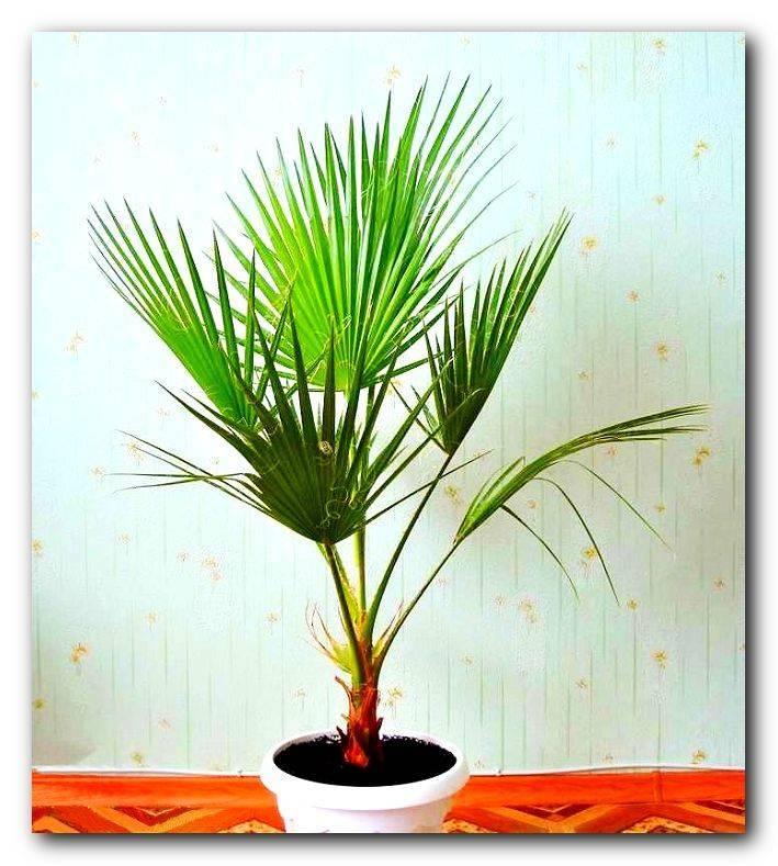 Комнатные пальмы: фото и названия разновидностей домашних пальм, уход за комнатными пальмами в домашних условиях
