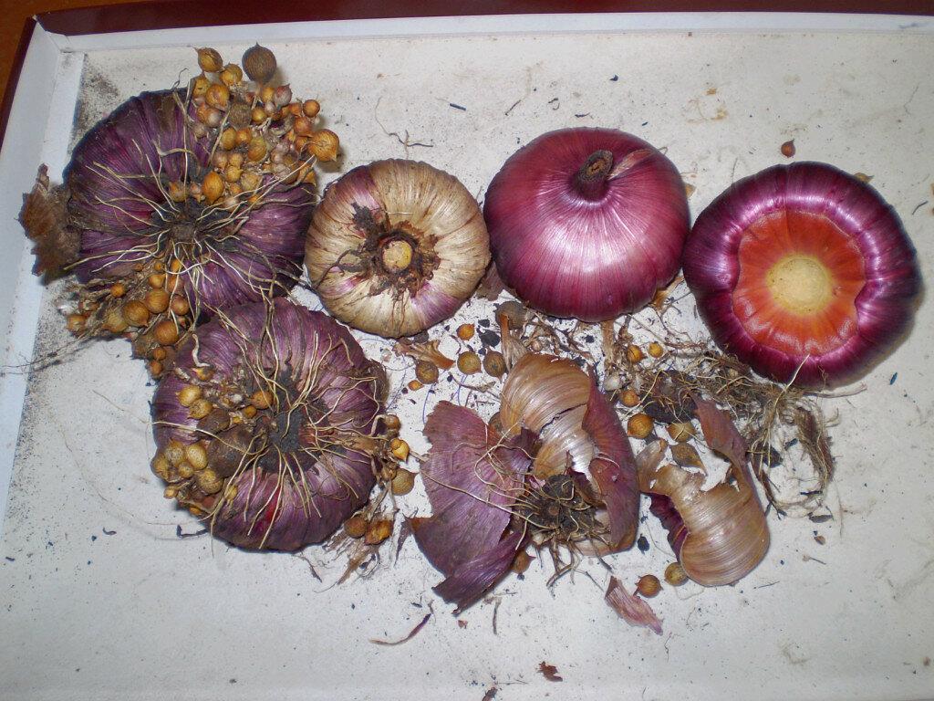 Когда выкапывать луковицы гладиолусов осенью и где хранить их до весны