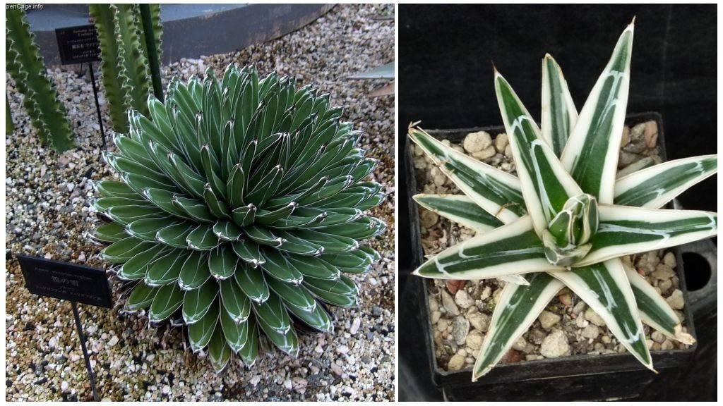 Уход за агавой в домашних условиях: фото и рекомендации по выращиванию на открытом грунте