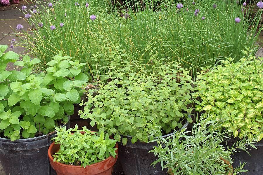 Посадка мяты на даче в открытый грунт семенами: выращивание и уход за растением,