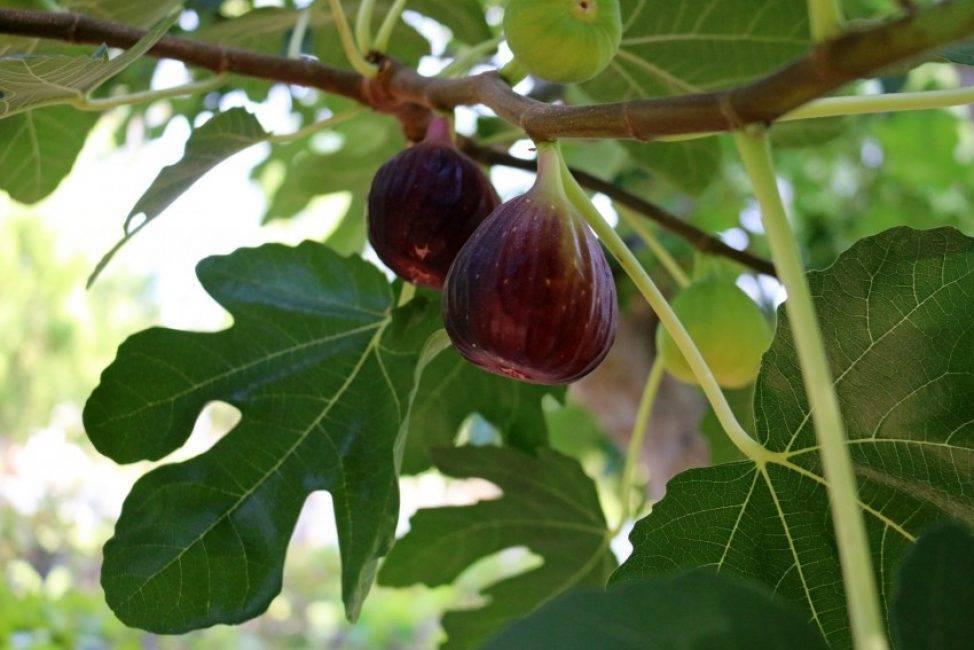 Инжир — лучшие полезные свойства фрукта. много фото, инструкций и рекомендаций только здесь!