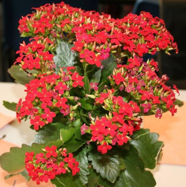Названия комнатных цветков с красными цветами и листьями, маленькими цветочками