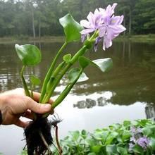 Что необходимо знать о водном гиацинте