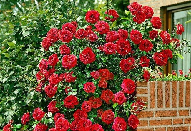 Правильная посадка роз: особенности ухода