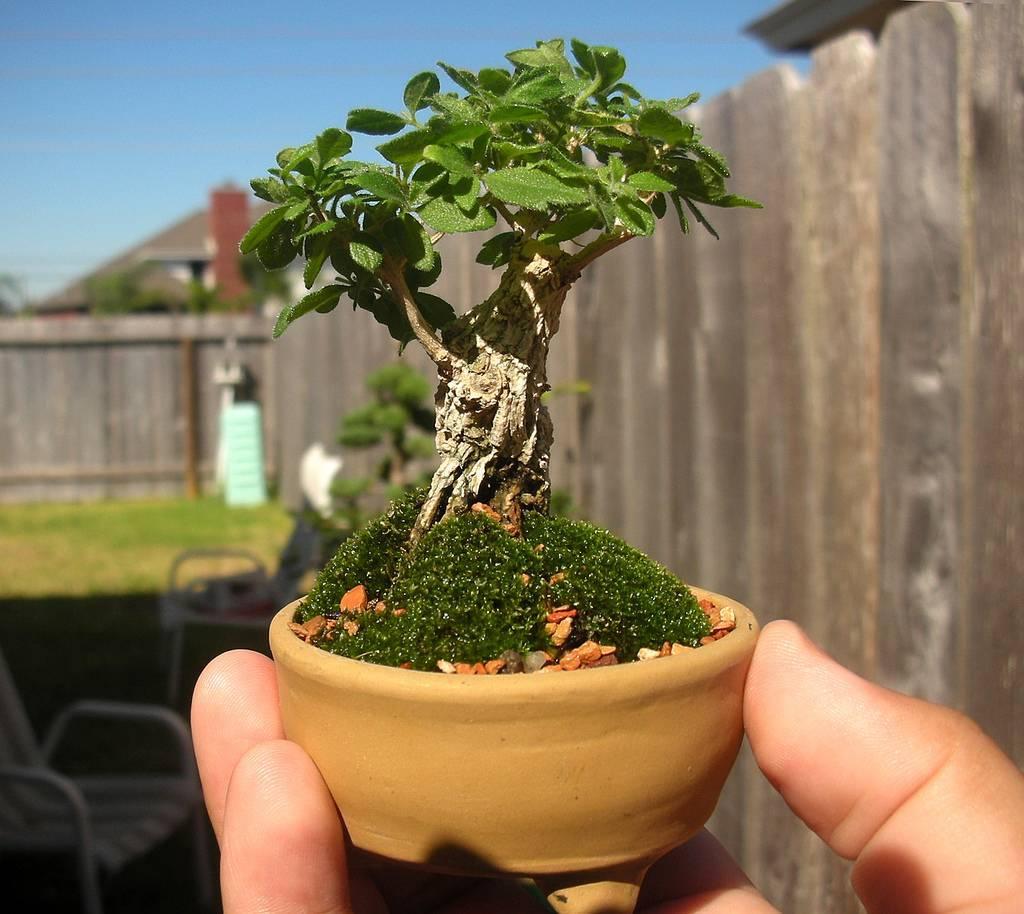 Бонсай клен — выращивание из семян в домашних условиях