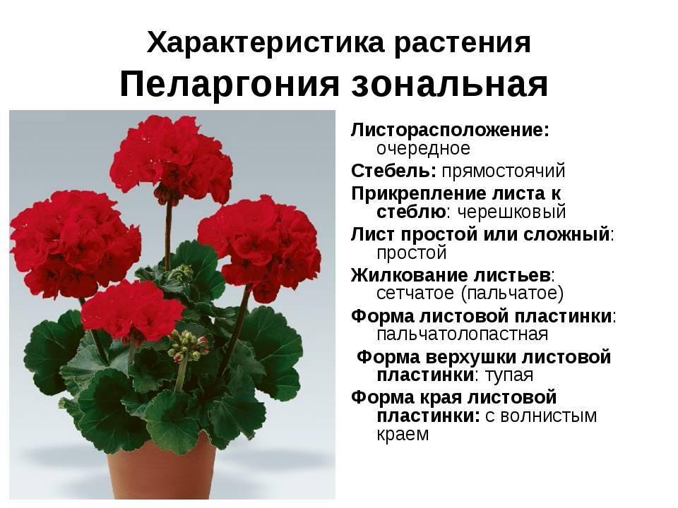 Садовые герани или пеларгонии: виды уличных сортов и выращивание в цветнике