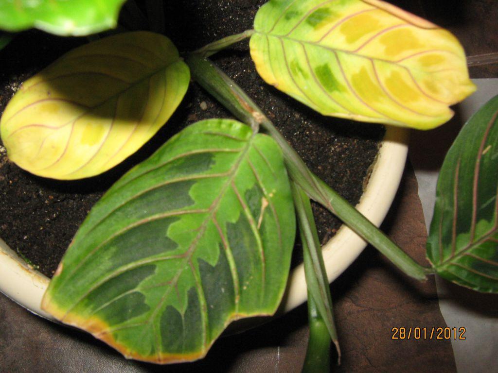 Калатея: уход в домашних условиях, размножение, пересадка, почему сохнет и желтеет