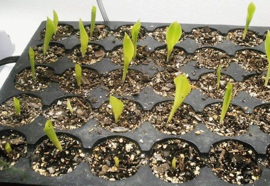 Ночная красавица — мирабилис: уход и размножение