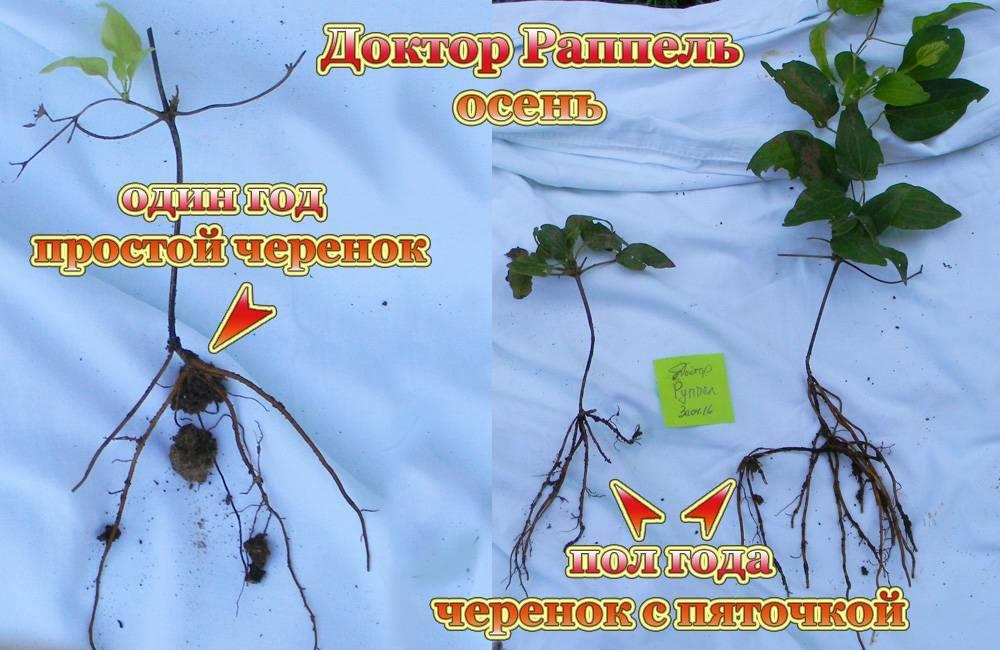 Размножение клематисов: черенками, отводками, делением куста. уход за клематисами
