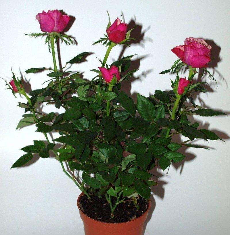Роза иерихона посадка и уход