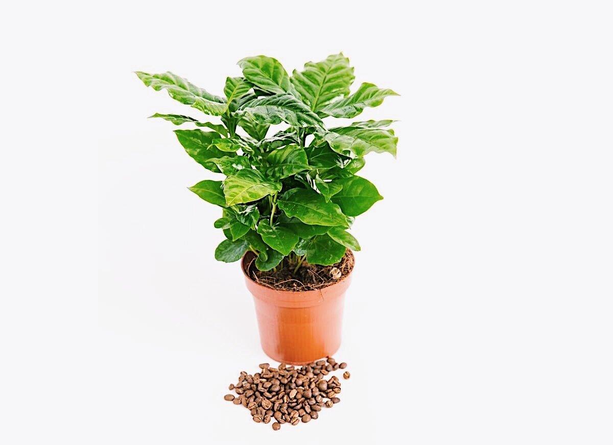 Цветок кофейное дерево: как ухаживать закомнатным растением