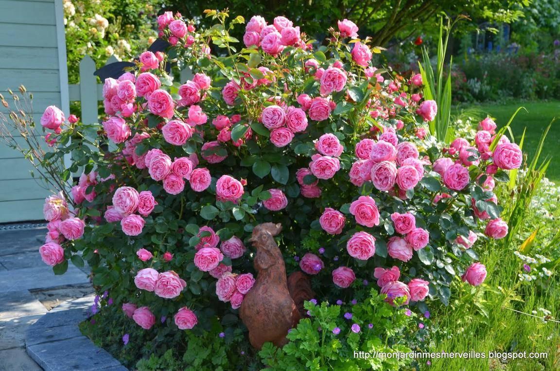 Роза леонардо да винчи: описание сорта и секреты успешного его выращивания