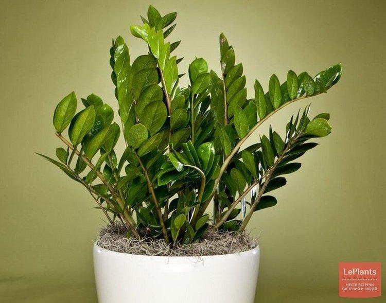 """Притягивающий богатство замиокулькас или """"долларовое дерево"""": родина и виды растения, фото, описание"""