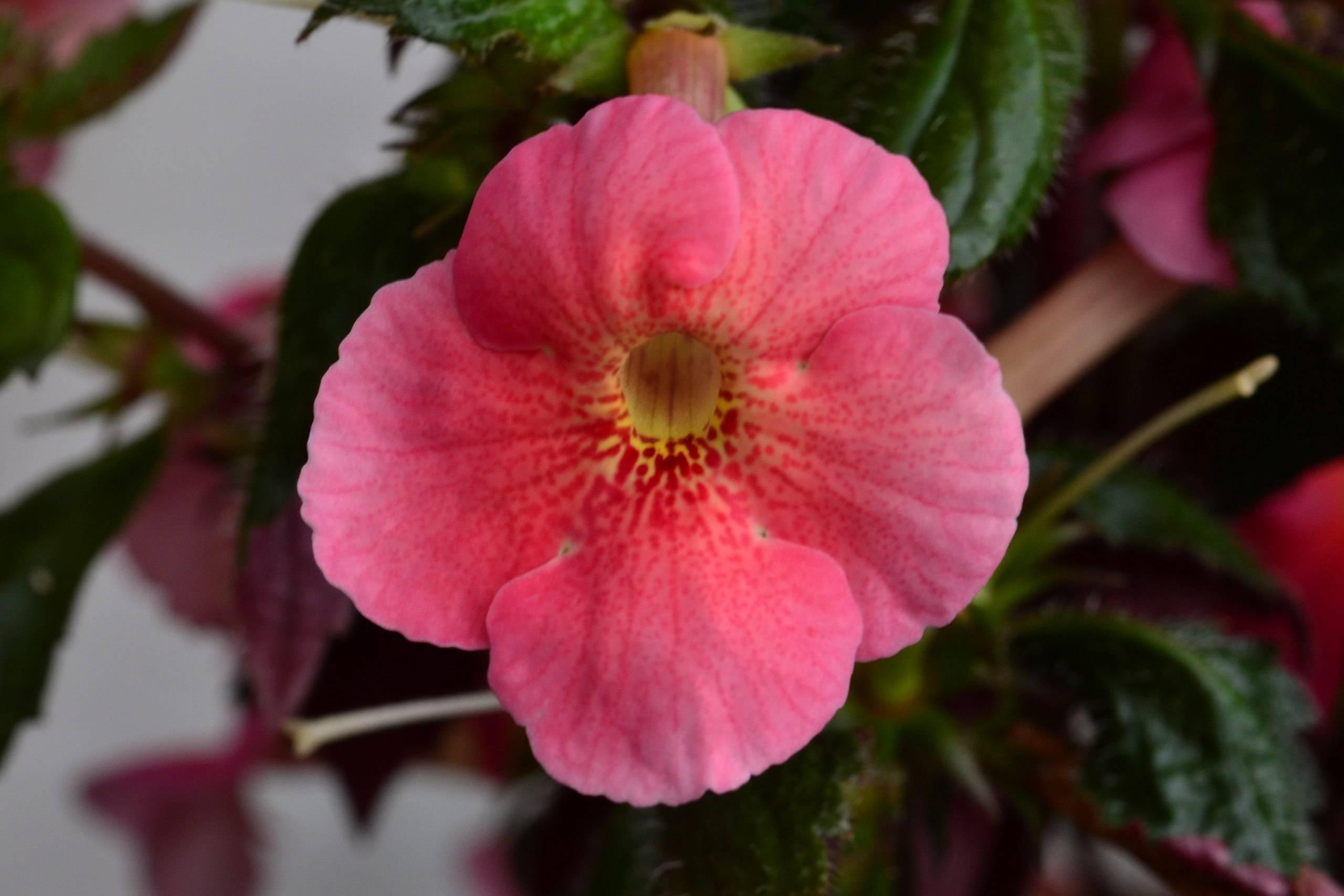 Ахименесы уход и выращивание растения в домашних условиях, размножение ризомами