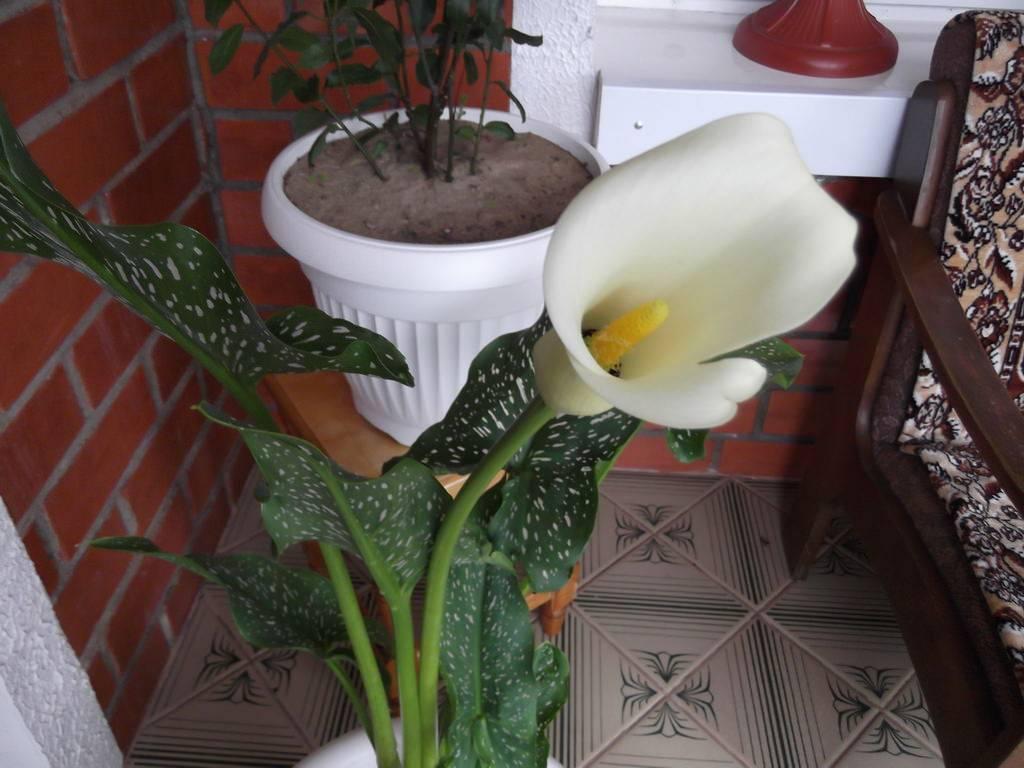 Калла — уход за комнатным цветком в горшке в домашних условиях