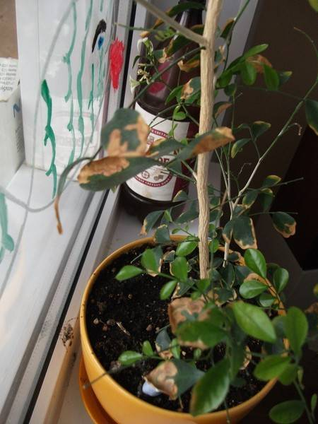 Болезни флоксов и их лечение: почему скручиваются листья