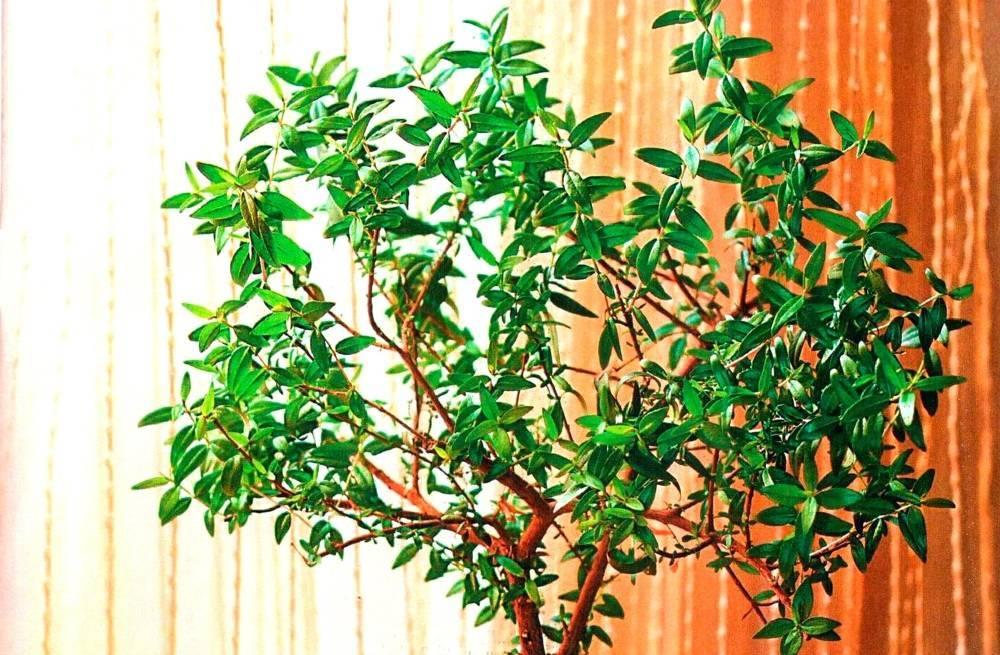 Бугенвиллия: выращиваем и ухаживаем правильно
