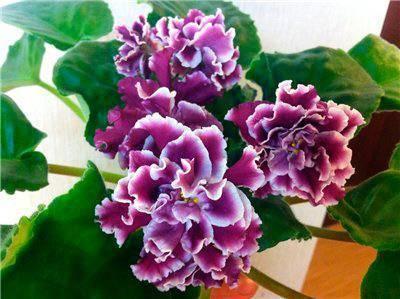 Фиалка зимняя роза — необычные фиалки похожие на розы