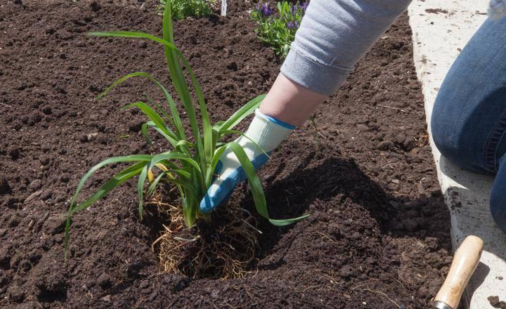 Когда пересаживать лилейники? лучше сделать пересадку летом, весной или осенью? можно ли пересадить на другое место после цветения?