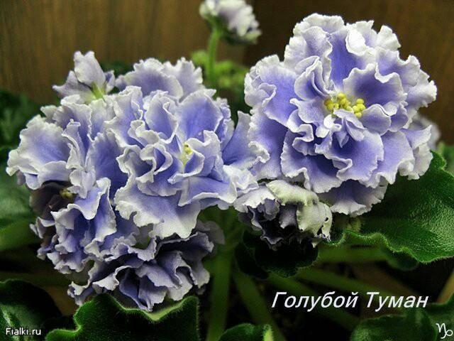 Нежный цветок ночная фиалка: фото, посадка и уход