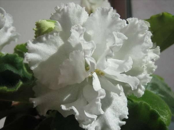 Гортензия букет роуз (bouquet rose) крупнолистовая
