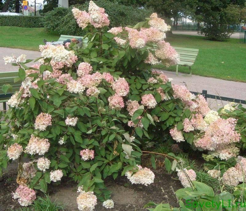 Черенкование метельчатой гортензии весной, летом и осенью