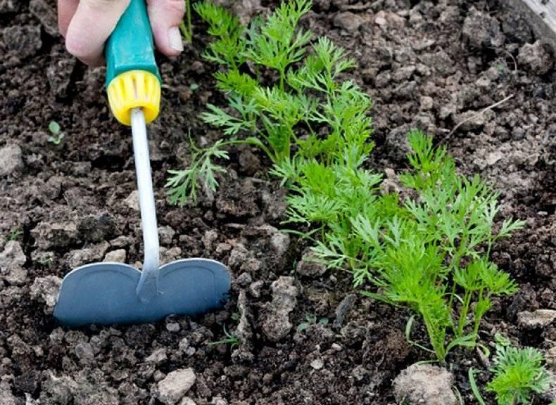 Агротехника выращивания очитка в открытом грунте: как ухаживать, удобрять, пересаживать