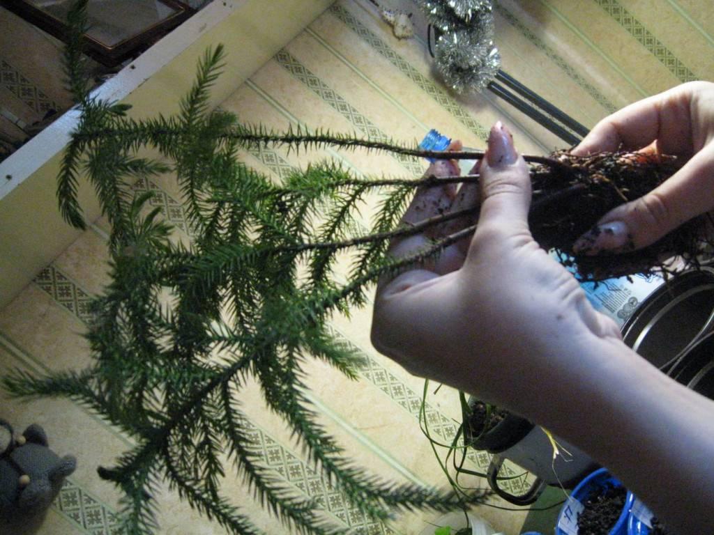 Араукария чилийская: фото, описание, правила ухода, польза растения, заболевания